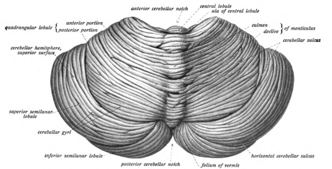 This is a drawing of the cerebellum, viewed from above and behind. The surface of the cerebellum is covered with finely spaced parallel grooves.
