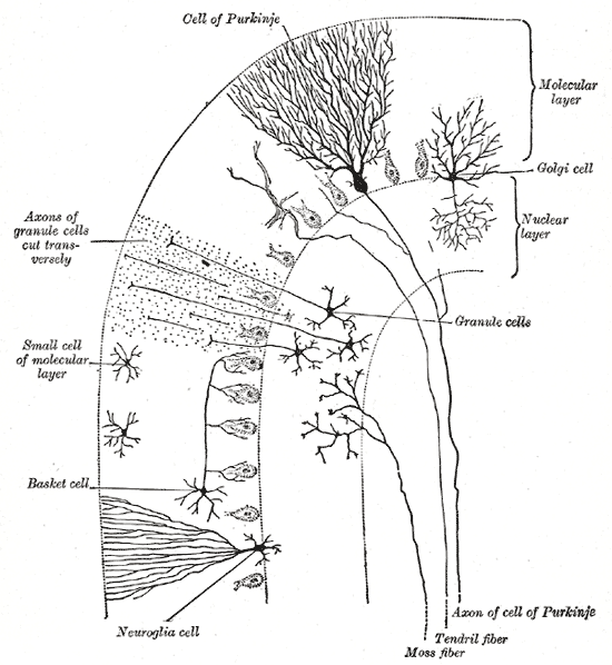 This is a drawing of cerebellum cells, seen from above and behind. The Purkinje cells and granule cells are called out.