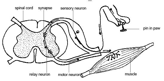 This is a drawing that diagrams a reflex arc—the path taken by the nerve impulses. This picture shows a pain in the paw of an animal, but it is equally adaptable to any situation and animal (including humans). The picture shows how the nerve impulse travels from the pin prick to a sensory neuron, to a synapse, to a relay neuron, then to a motor neuron that activates a muscle movement.