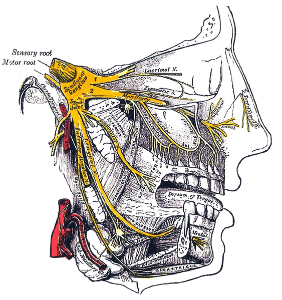 This is an anatomical drawing of the head that shows its nerves. In an ice cream headache, known colloquially as brain freeze and medically as a cold-stimulus headache, the trigeminal nerve, shown in yellow, conducts signals from dilating blood vessels in the palate to the brain that interpret the pain as coming from the forehead.