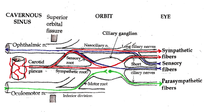 This is a diagram of the ciliary ganglion. The pathways of the ciliary ganglion include sympathetic neurons (shown in red), parasympathetic neurons (shown in green), and sensory neurons (shown in blue).
