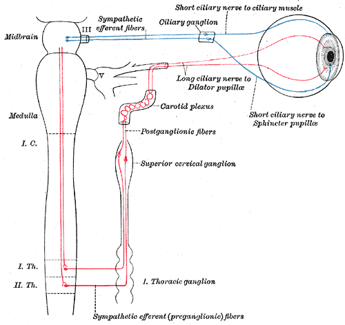 The sympathetic connections of the ciliary and superior cervical ganglia are shown in this digram. The postganglionic fibers travel from the ganglion to the effector organ (an eye in this case).