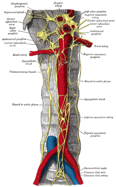 This is a drawing of a cross section of the sympathetic trunk. It shows both the celiac and the hypogastric plexus.