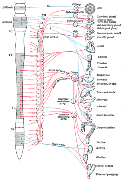 This is a diagram of how the nerves innervate the autonomic nervous system. The spinal cord is shown with the ganglia of the sympathetic nervous system (the red lines in the diagram) linked to their vertebral position and the organs they innervate. The parasympathetic nervous system, shown as blue lines, is a division of the autonomic nervous system, and is also linked to its vertebral positions and the organs it innervates.