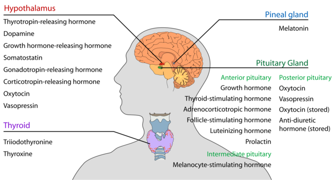 This is a drawing of the head and neck that shows the locations of the endocrine systems. The endocrine systems found in the head and neck include the hypothalamus, pineal, pituitary and thyroid glands.