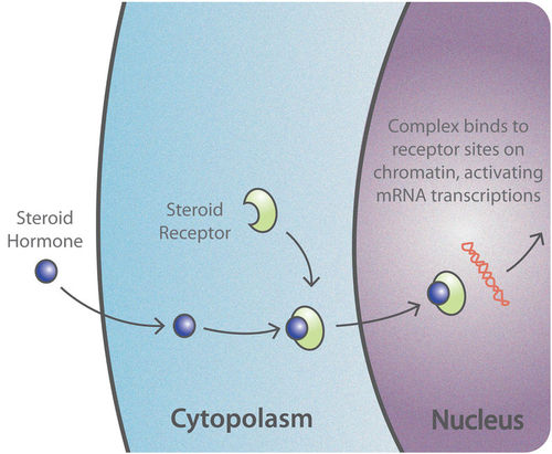 This is a diagram that shows how lipid-soluble hormones, such as estrogen, activate the hormone receptors and bind themselves to a cell. The diagram shows a steroid hormone passing through the cytoplasm, where it binds to a steroid receptor, and then into the nucleus where it activates mRNA transcriptions.