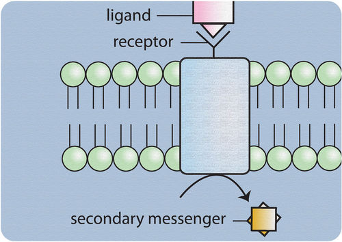 This diagram shows how water-soluble hormones, such as epinephrine, bind to a cell-surface localized receptor, initiating a signaling cascade using intracellular second messengers.
