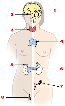 This is a diagram of the major endocrine glands in men and women (male left, female on the right). 1. Pineal gland 2. Pituitary gland 3. Thyroid gland 4. Thymus 5. Adrenal gland 6. Pancreas 7. Ovary 8. Testis