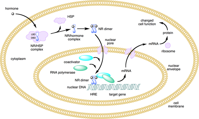 This figure depicts the mechanism of a class I nuclear receptor (NR) that, in the absence of ligand, is located in the cytosol. Hormone binding to the NR triggers translocation to the nucleus, where the NR binds to a specific sequence of DNA known as a hormone response element (HRE).