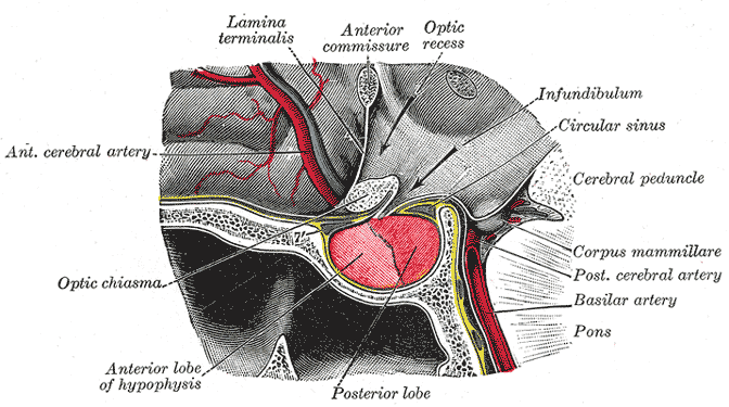 In this image that shows the location of the pituitary gland, it is referred to by its other name, the hypophysis.