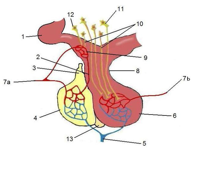 The Pituitary Gland | Boundless Anatomy and Physiology
