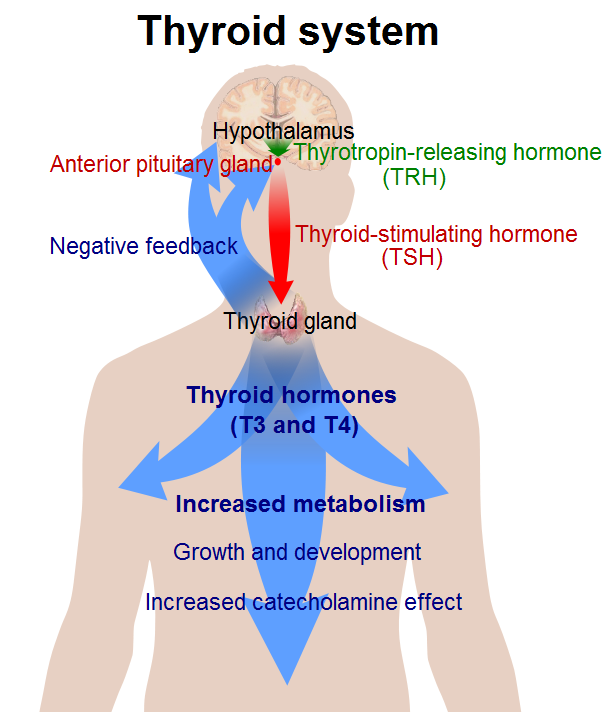 This is a diagram of the thyroid system. The hypothalamus is shown in the center of the brain. It secretes TRH that activates the anterior pituitary gland to release TSH that travels down the neck to they thyroid gland. There, T3 and T4 are activated and produce increased metabolism, growth and development, and increased catecholamine effect that flow down through the body. The thyroid glad is also depicted as having a negative mechanism that reports back to the anterior pituitary and hypothalamus.