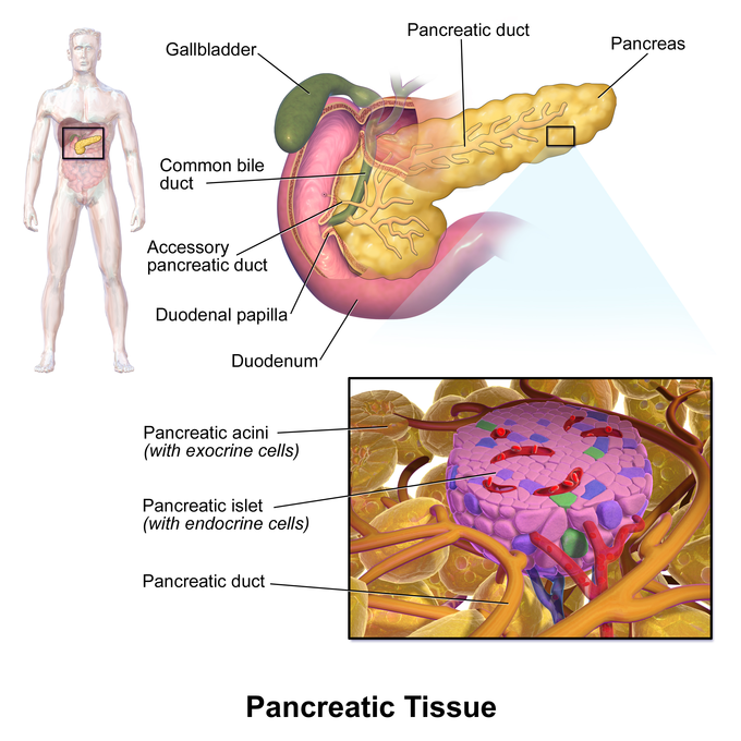 This is an illustration of the pancreas with a detailed view of a pancreatic islet with endocrine cells. The islet is surround by the pancreatic acini and pancreatic duct.