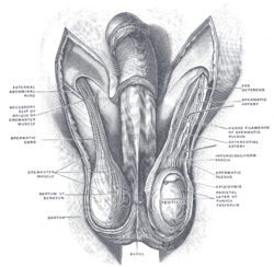 This is a schematic diagram of male (human) testicles.