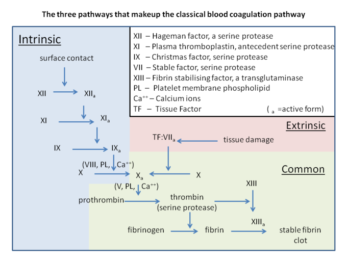 This is a diagram of the three pathways that make up the coagulation cascade. Terms include XII - Hageman factor, a serine protease; XI - plasma thromboplastin, antecedent serine protease; IX - Christmas factor, serine protease; VII - stable factor, serine protease; XIII - fibrin stabilizing factor, a transglutaminase; PL - platelet membrane phospholipid; Ca ++ - calcium ions; TF - tissue factor; a - active form.