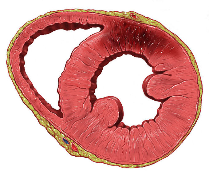 The heart boundless anatomy and physiology the heart wall the wall of the heart is composed of three layers the thin outer epicardium the thick middle myocardium and the very thin inner ccuart Choice Image
