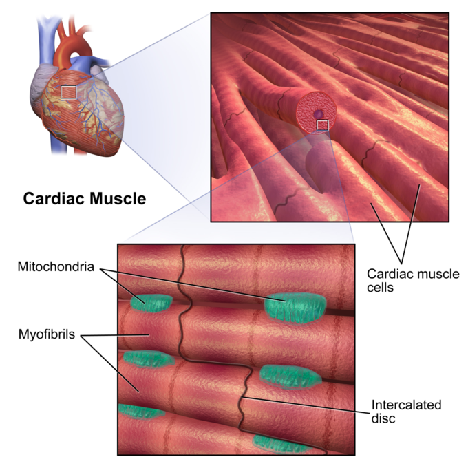 The Heart Boundless Anatomy And Physiology