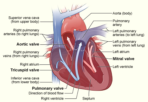 Circulation and heart valves boundless anatomy and physiology this cross section of the heart indicates the aorta pulmonary artery left and ccuart Image collections