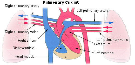 Circulation And Heart Valves Boundless Anatomy And Physiology