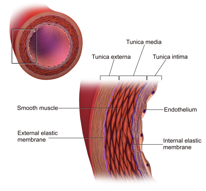 Blood Vessel Structure And Function Boundless Anatomy And Physiology