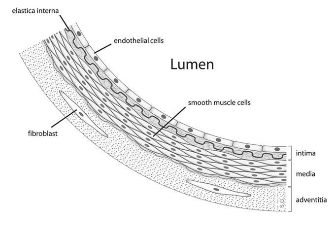 This diagram of the arterial wall indicates the fibroblast, elastica interna, endothelial cells, lumen, smooth muscle cells, intima, media, and adventitia.
