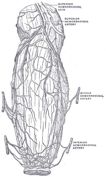 This diagram of the rectum and anus indicates the superior hemorrhoidal vein as well as the superior, inferior, and middle hemorrhoidal arteries.