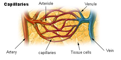 This diagram indicates capillaries, arteries, arterioles, venules, tissue cells, and veins.