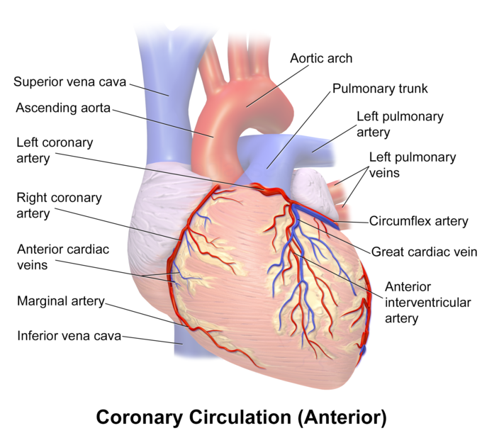 The coronary circulation, anterior view, indicating the aortic arch, left pulmonary trunk, left and right coronary artery, left pulmonary veins, left pulmonary artery, circumflex artery, great cardiac vein, anterior interventricular artery, inferior vena cava, marginal artery, anterior cardiac veins, ascending aorta, and superior vena cava.