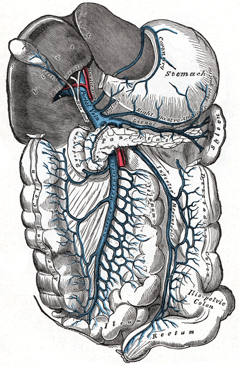 This diagram of hepatic portal circulation indicates the stomach, spleen, pancreas, duodenum, ascending colon, ilium, rectum, descending colon, and iliopelvic colon.