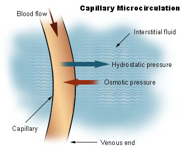This diagram of capillary microcirculation indicates the blood flow, capillary, venous end, osmotic pressure, hydrostatic pressure, and interstitial fluid.