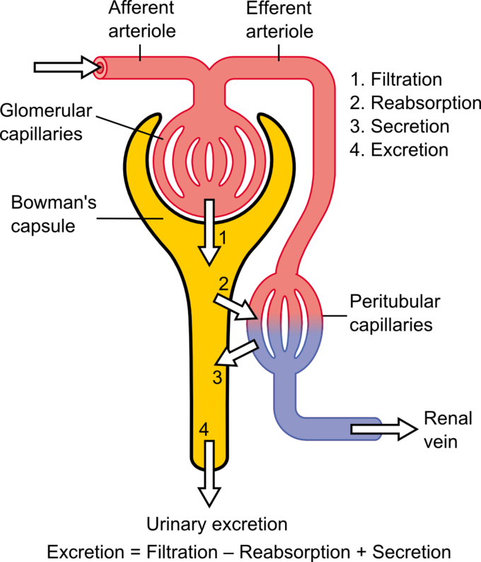 This diagram of the urinary excretion process indicates afferent and efferent arterioles, glomerular capillaries, Bowman's capsule, renal veins, and peritubular capillaries.