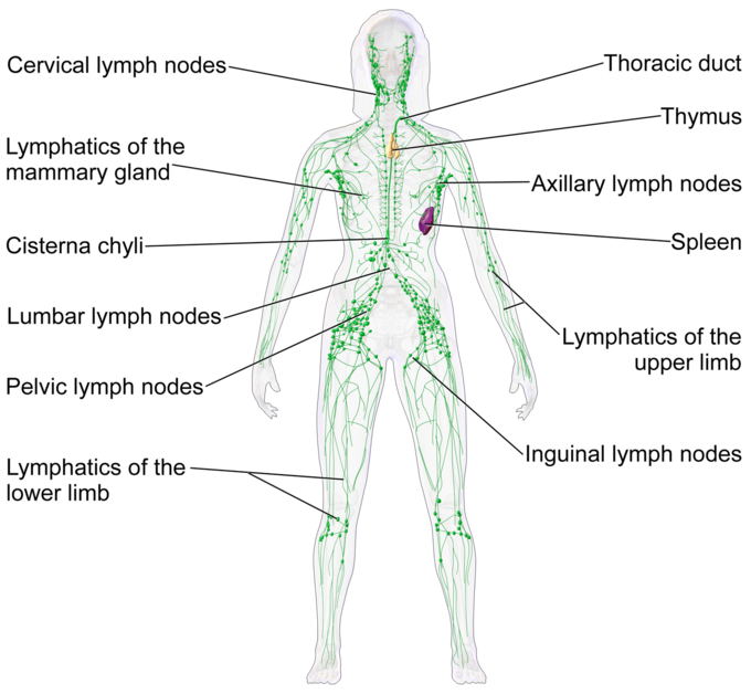 This diagram of lymphatic tissue indicates the cervical lymph nodes, lymphatics of the mammary gland, cisterna chyli, lumbar and pelvic lymph nodes, lymphatics of the lower limbs, inguinal lymph nodes, lymphatics of the upper limbs, spleen, axillary lymph nodes, thoracic duct, and thymus.