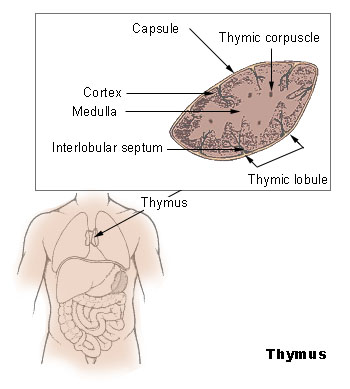 This diagram of the thymus indicates the capsule, thymic corpuscle, thymic lobule, medulla, cortex, and interlobular septum.