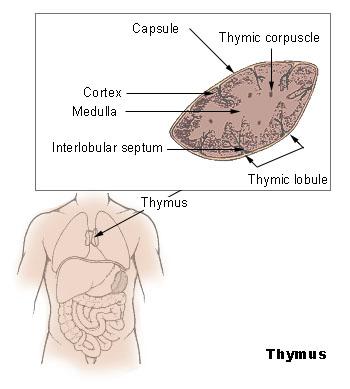 This diagram of the thymus indicates the capsule, thymic corpuscle, thymic lobule, medulla, cortex, and interlobular septum.