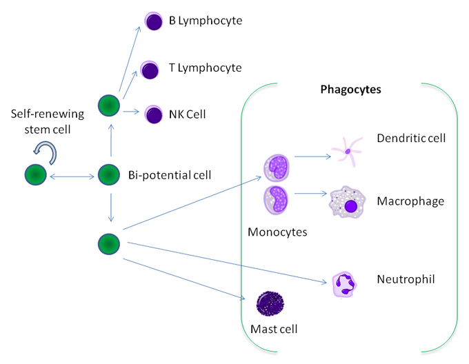 This diagram of leukocyte differentiation indicates the self-renewing stem cell, B lymphocyte, T lymphocyte, NK cell, bi-potential cell, phagocytes, dendritic cell, macrophage, neutrophils, monocytes, and mast cells.