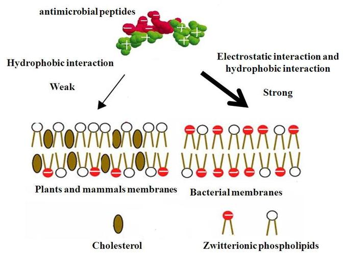 This diagram indicates antimicrobial peptides, hydrophobic and electrostatic interaction, plant and mammal membranes, bacterial membranes, cholesterol, and zwitterionic phospholipids.