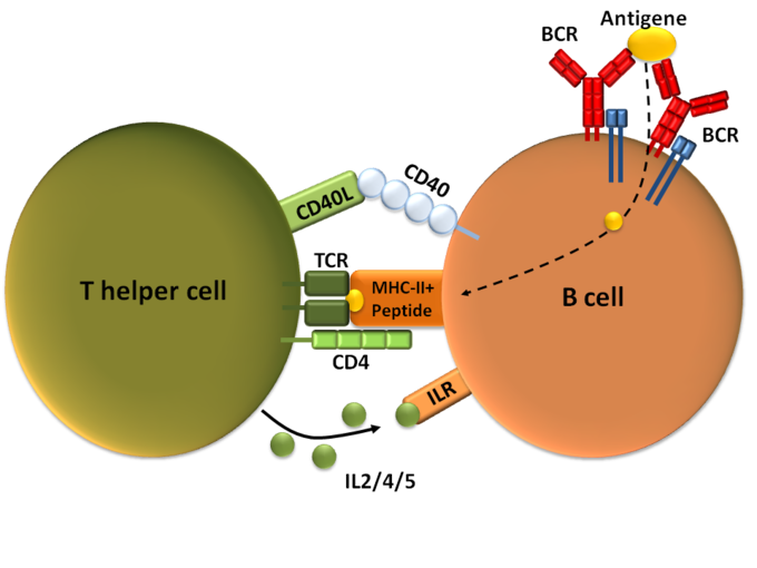 This diagram of T-dependent B cell activation indicates T helper cells, CD40, CD40L, TCR, MHC II peptide, ILR, B cell, BCR, and antigen.