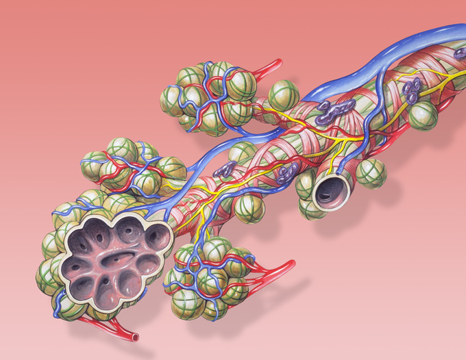 This is an illustration of bronchial anatomy. It shows a cutaway view of the pulmonary alveoli as the terminal ends of the respiratory tree, outcropping from either alveolar sacs or alveolar ducts, which are both sites of gas exchange with the blood.