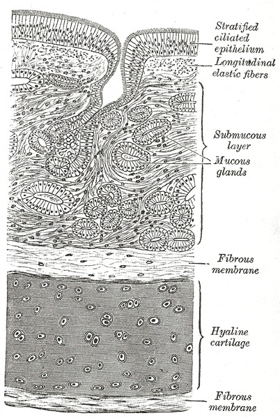 A cross section of the trachea, showing the hyaline cartilage, mucus glands, and ciliated epithelium. The hyaline cartilage is wedged between two fibrous membranes. The submucous layer contains the mucous glands. The stratified ciliated ephithelium sits above it all, cushioned by longitudinal elastic fibers.