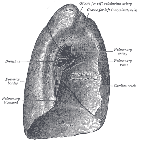 This is a cross-section view of the left lung. It shows how the left lung is different than the right lung due to the cardiac notch, a concave depression that accommodates the shape of the heart.