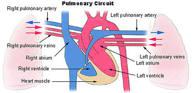 This is a diagram of pulmonary circulation. Oxygen-rich blood is shown in red and can be seen moving through the pulmonary veins into the left ventricle and the left atrium. Oxygen-depleted blood is shown in blue, moving through the right ventricle into the right atrium and out to the lungs via the right and left pulmonary arteries.