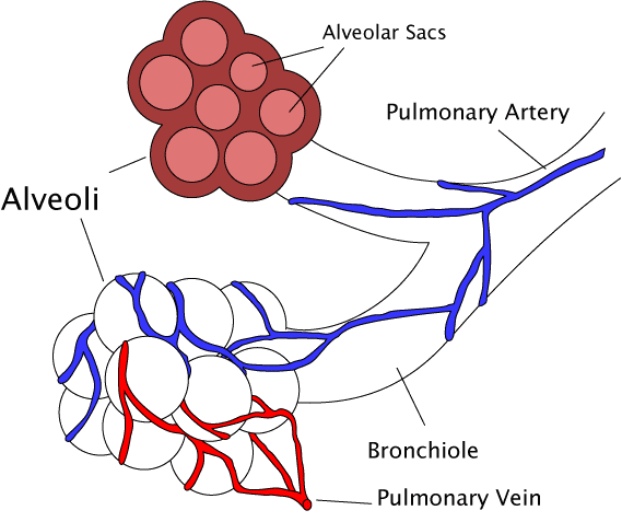 Factors affecting pulmonary ventilation boundless anatomy and diagram of an alveoli an alveoli with both cross section and external views ccuart