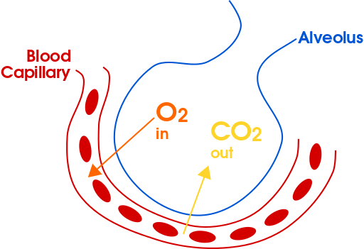 Gas Exchange Boundless Anatomy And Physiology