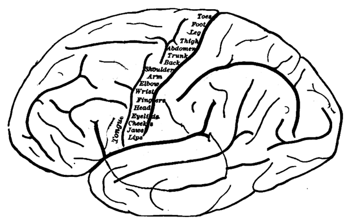This is an outline drawing of the human brain that shows the topography of the primary motor cortex. Each part of the primary motor cortex controls a different part of the body. The labels across the primary motor cortex indicate what it controls, namely: toes, foot, leg, thigh, abdomen, trunk, back, shoulders, arm, elbow, wrist, fingers, head, eyelids, cheeks, jaws, lips, and tongue.