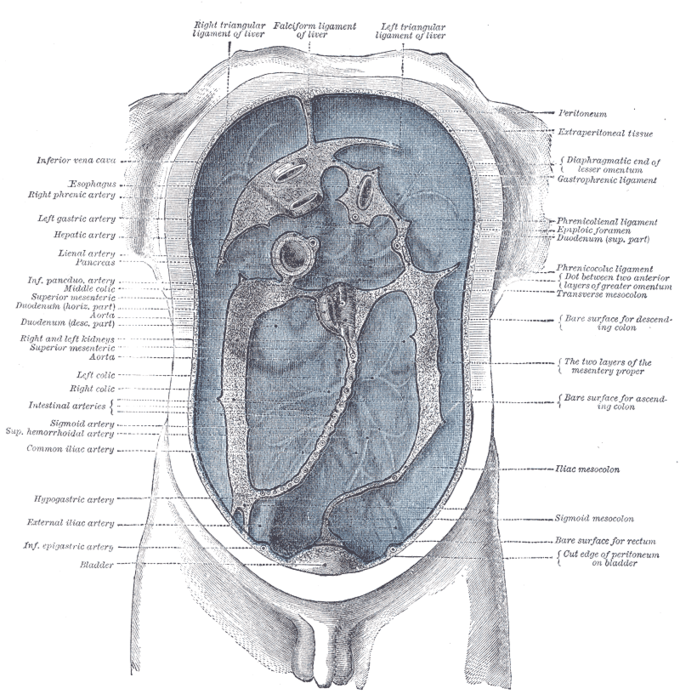 This is an anatomical, schematic drawing that shows the peritoneum and the organs and systems surrounded within itself.
