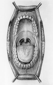 This is an illustration of the inside of a human mouth. The cheeks have been omitted in the drawing and the lips pulled back for an unobstructed view of the teeth, tongue, jaw bones, uvula, and alimentary canal.
