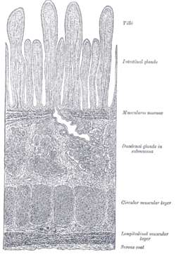 This is a drawing of the the muscularis mucosa of the submucosa. The muscularis mucosa is adjacent to the submucosa, and should not be confused with the muscularis externa.