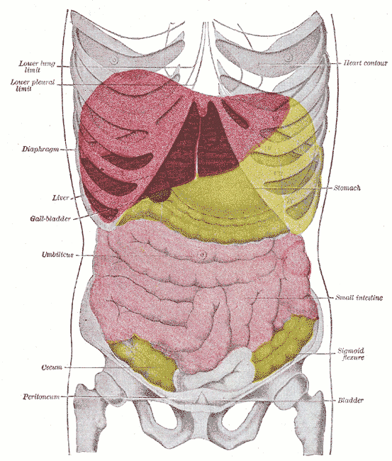 This is an anatomical drawing of a human chest from the front. The liver can be seen within the diaphragm and above the gall bladder and stomach.