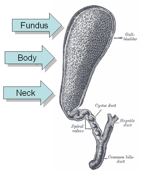 An illustration of the gallbladder from Gray's Anatomy with with its sections labeled: fundus, body, and neck.
