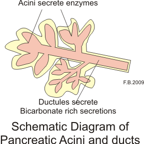 This is a schematic diagram that shows the pancreatic acini and the ducts where pancreatic fluid is created and released.